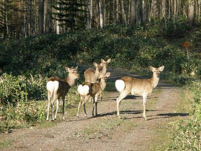 屈斜路湖の鹿たち.jpg