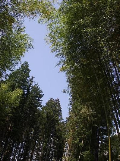 青空に聳え立つ竹 1-3.jpg